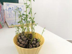 observar como crecen las lentejas en casa
